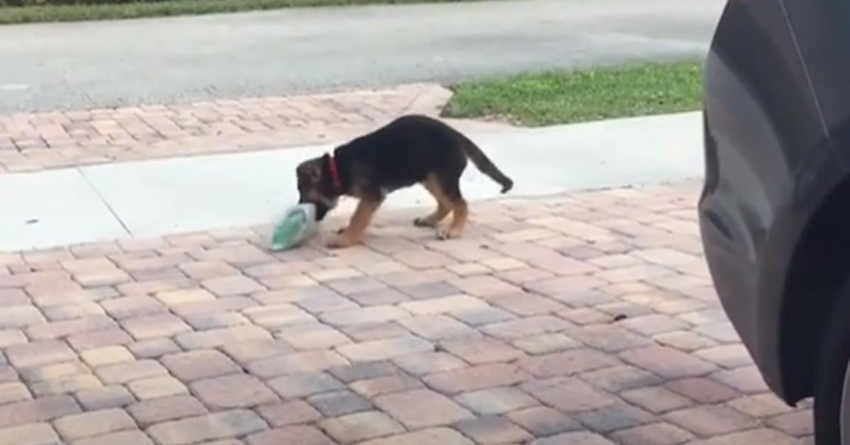l cucciolo di Pastore Tedesco ogni mattina va in giardino a ritirare il giornale (VIDEO)