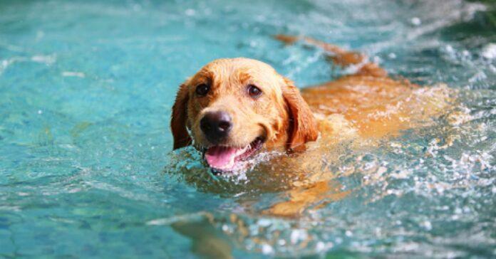 la cucciola labrador cade comicamente fuori dalla piscina video