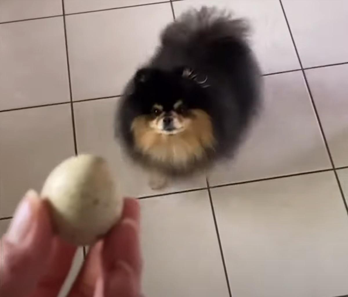mocha cucciola pomerania difende suo uovo di quaglia