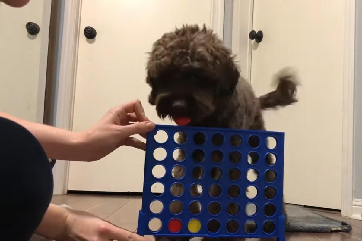 percy cucciola spoodle dopo cena si gioca