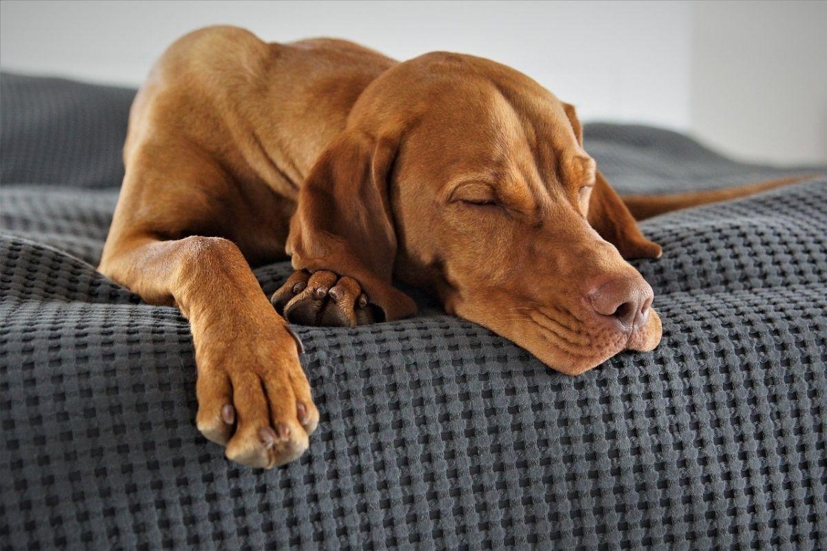 Cane marrone dorme su telo grigio