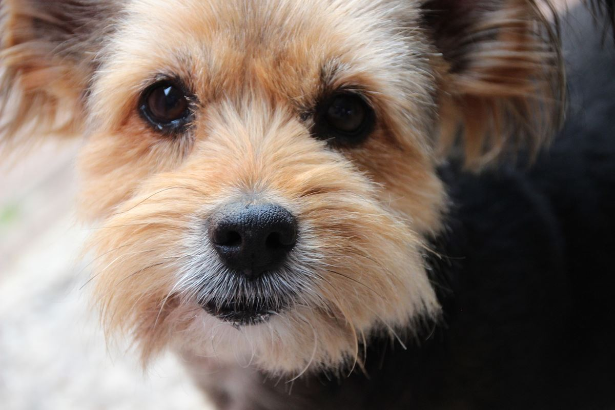 yorkshire terrier anziano