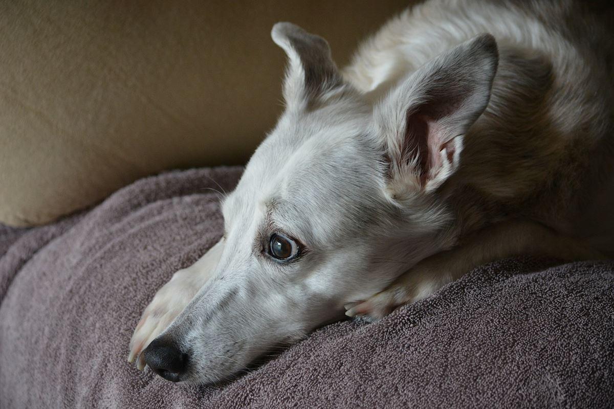 cane bianco disteso sul letto