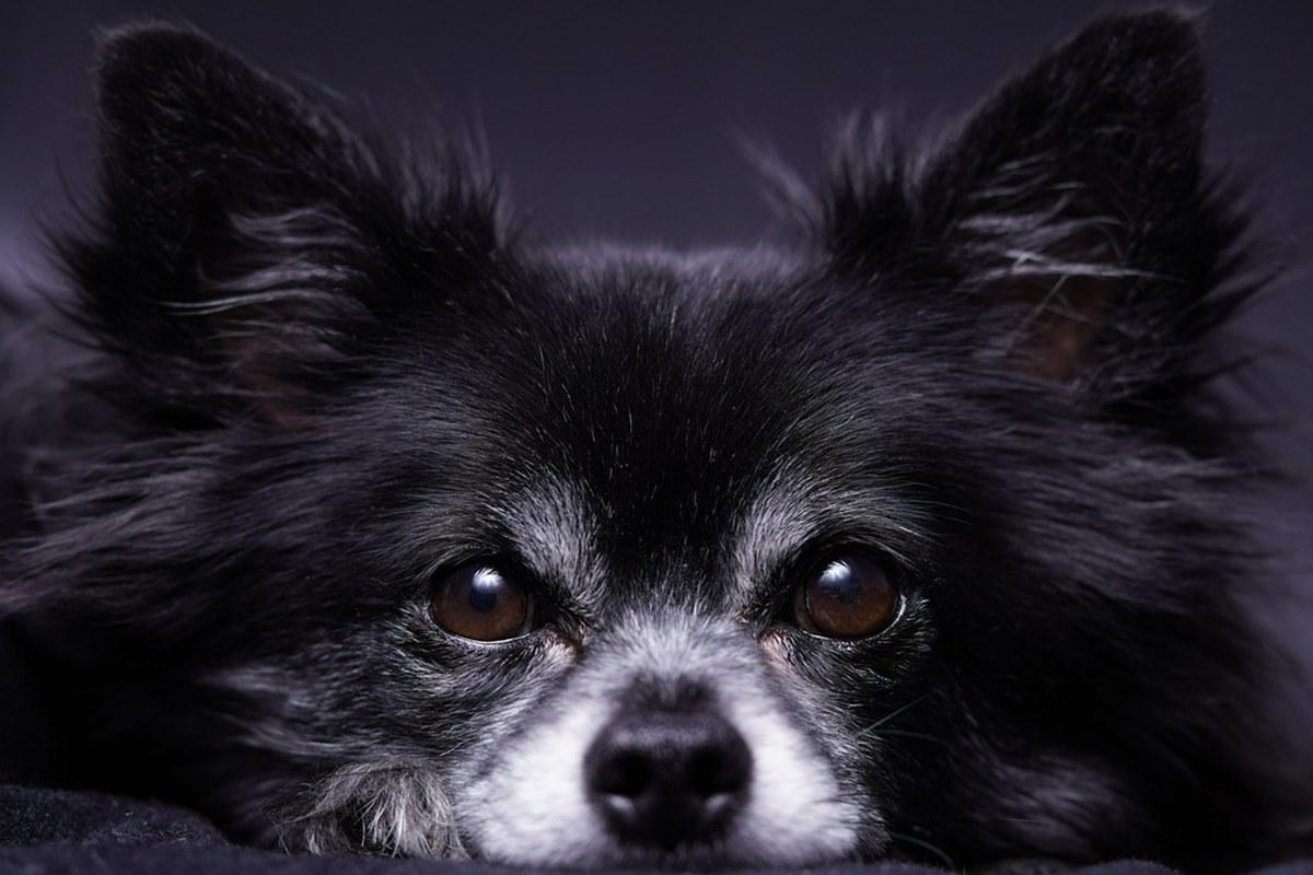 cane di piccola taglia a pelo lungo