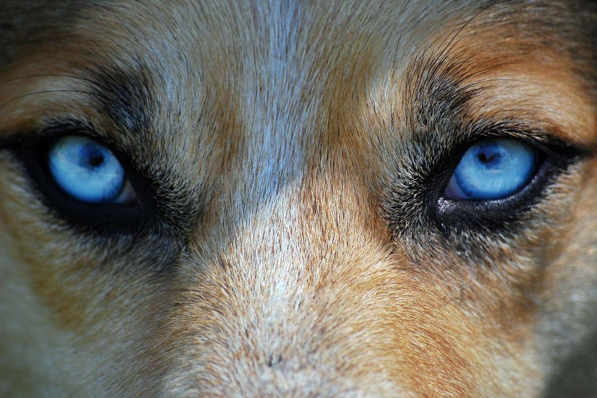 cane occhi blu
