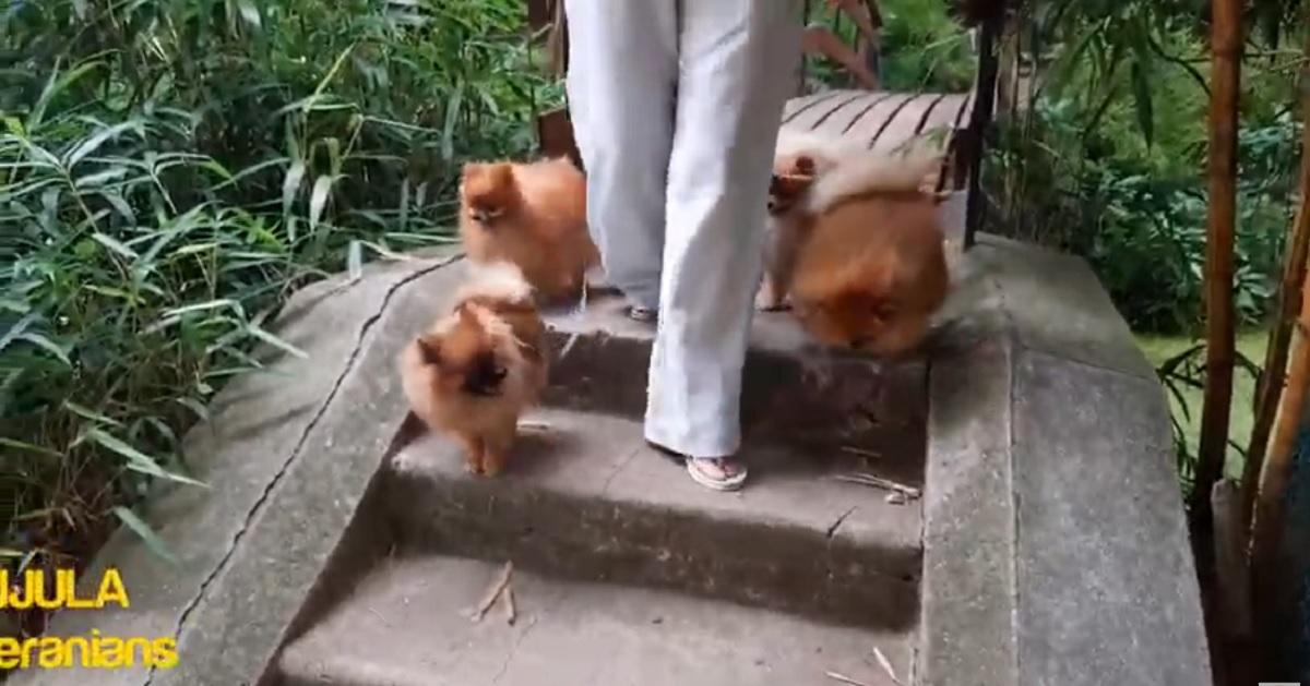 La passeggiata al parco di una banda di teneri cuccioli di Pomerania (VIDEO)