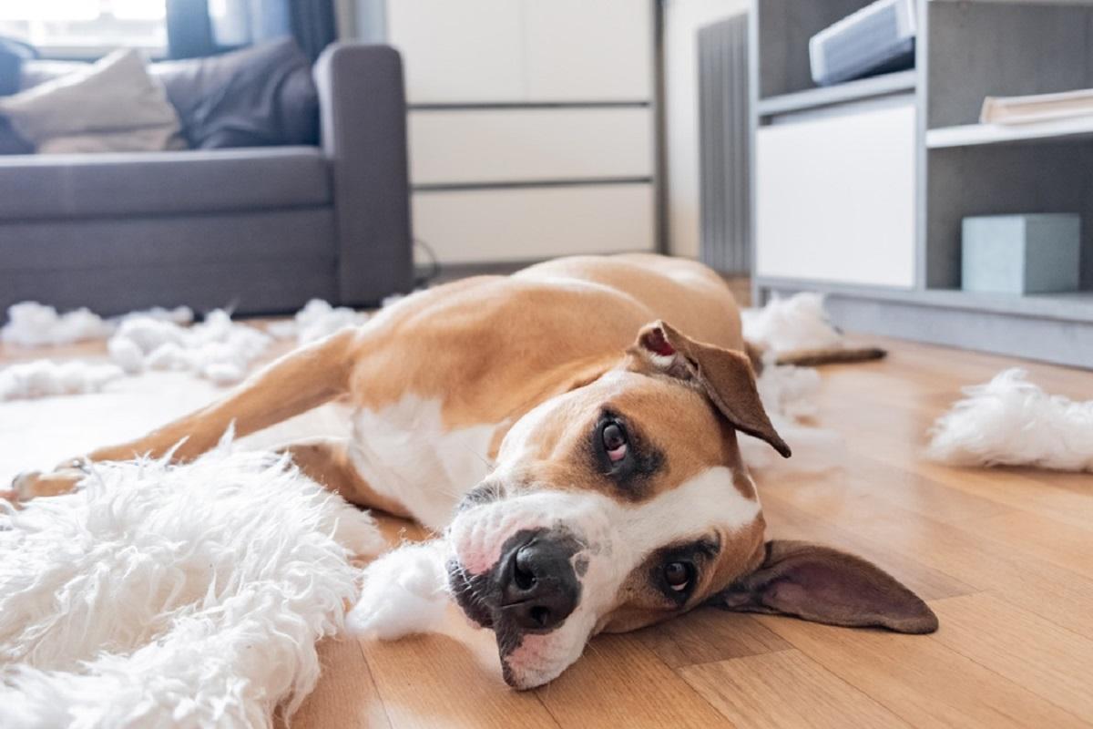 cane ha distrutto il tappeto