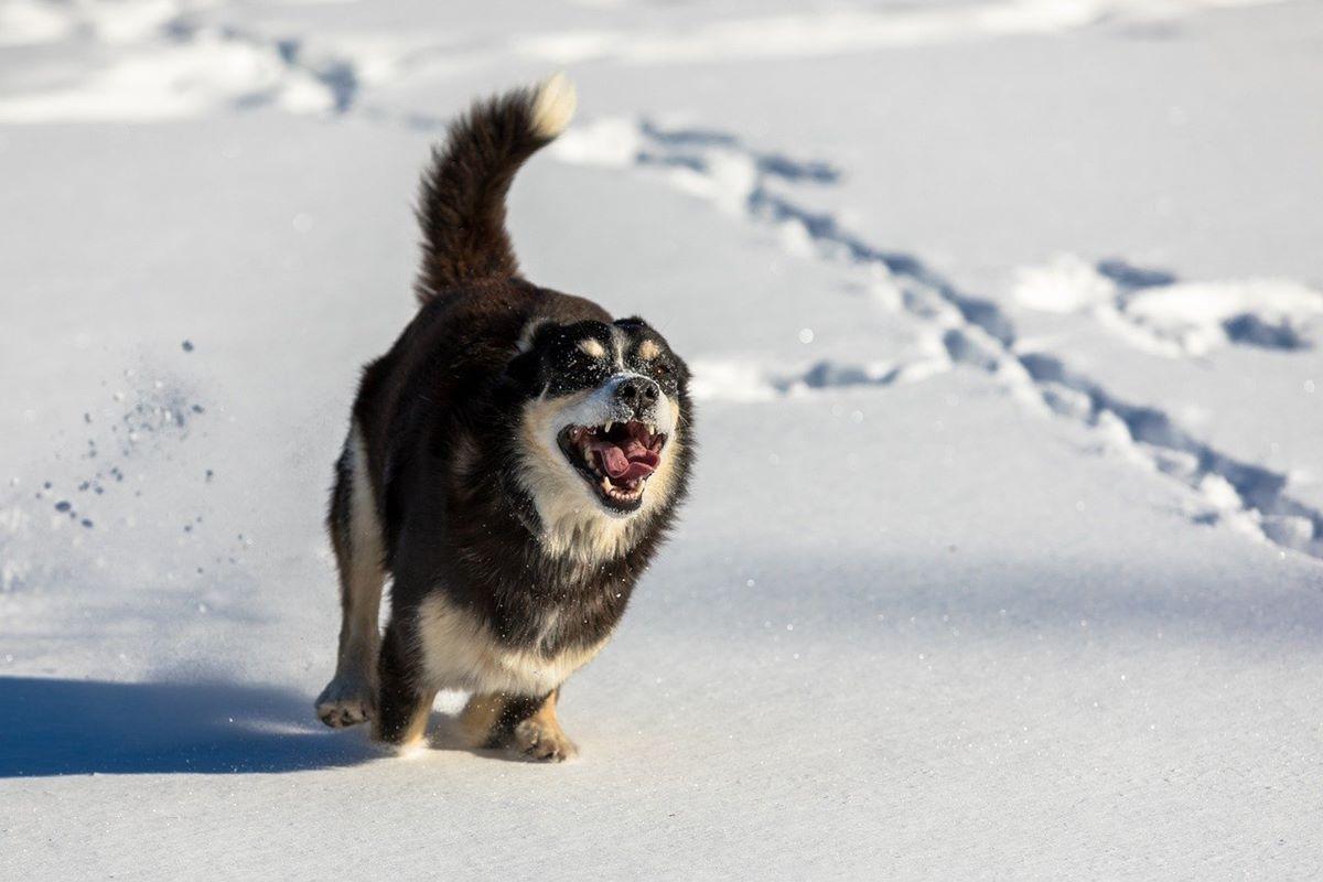 cane che corre sulla neve