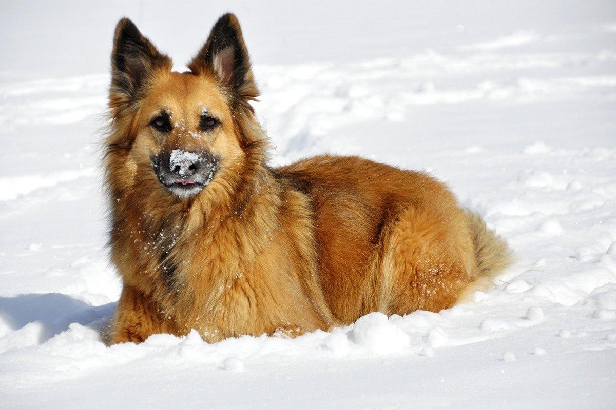 cane mangia la neve