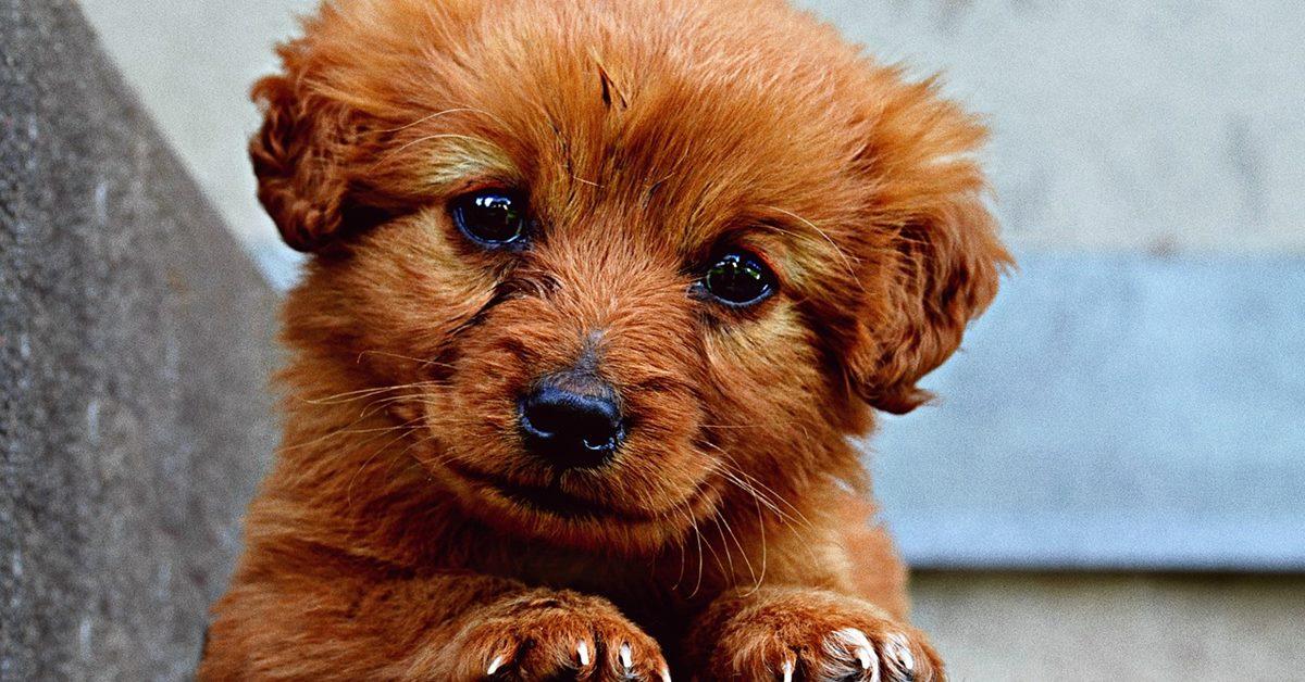 cagnolino marrone
