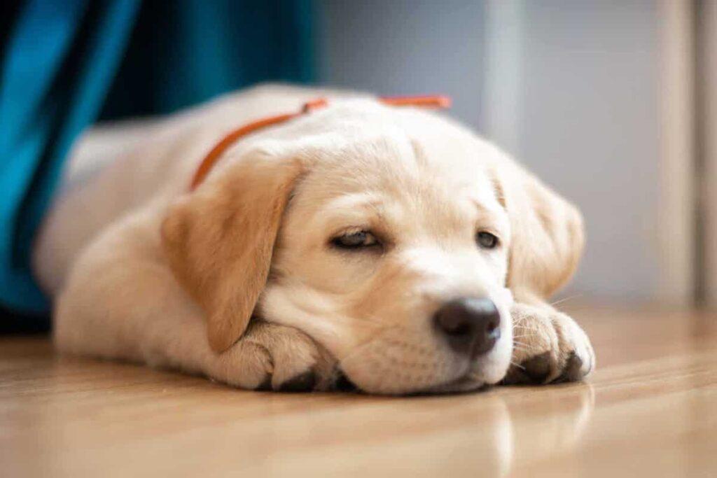 quando si sverminano i cuccioli di cane