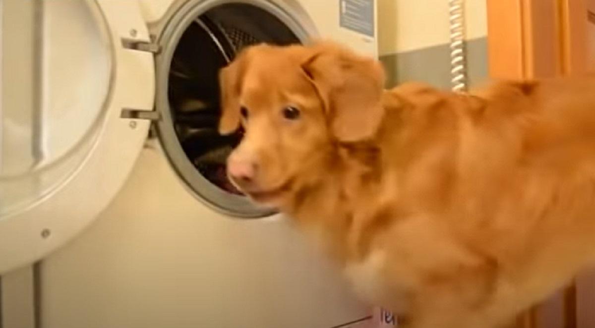 Questo cucciolo di cane è perfettamente capace di fare il bucato da solo, il video vi sorprenderà
