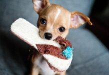 Chihuahua con pantofola