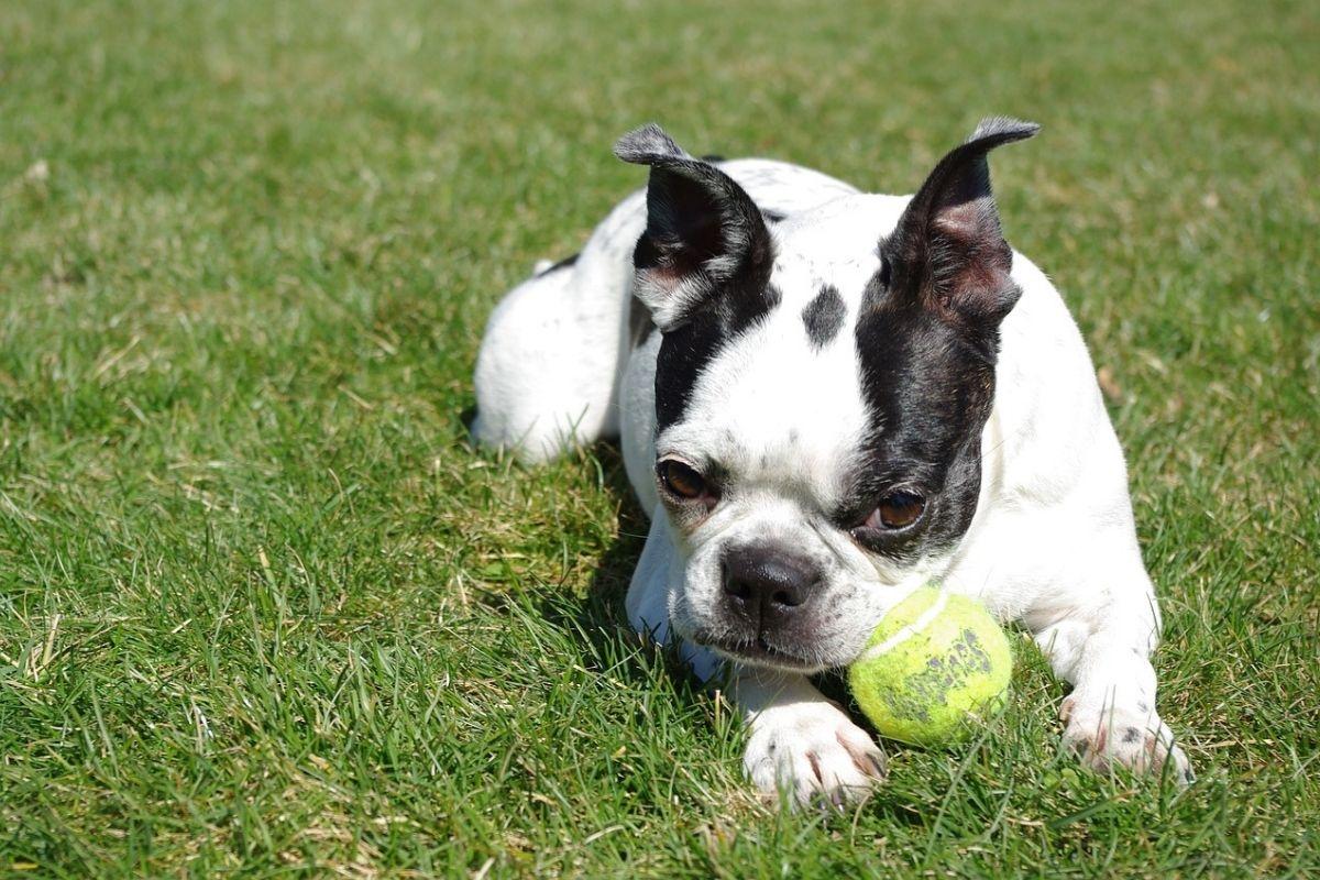 10 razze di cani che vanno d'accordo con i Pitbull