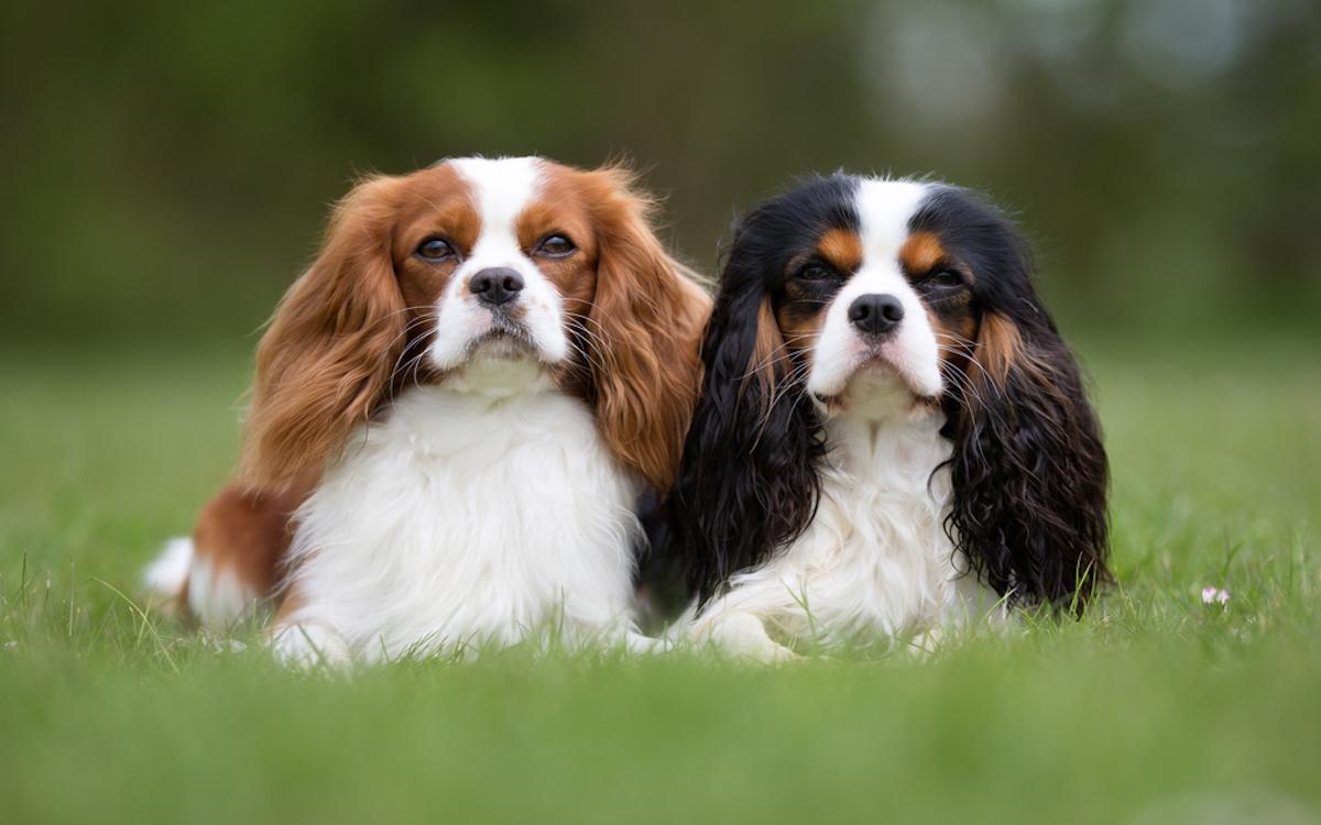 cavalier in coppia