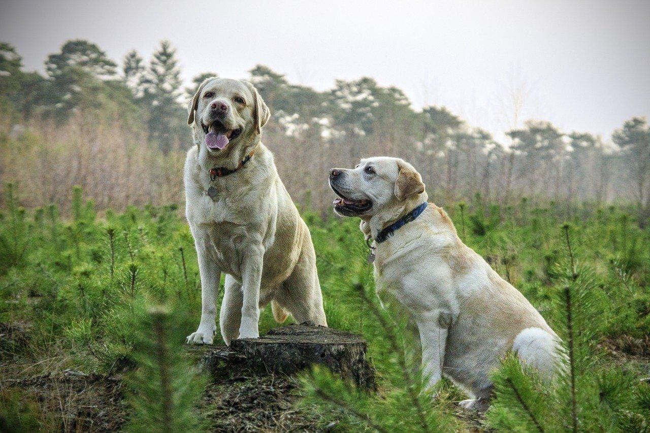10 razze di cani che vanno d'accordo con il Barbone