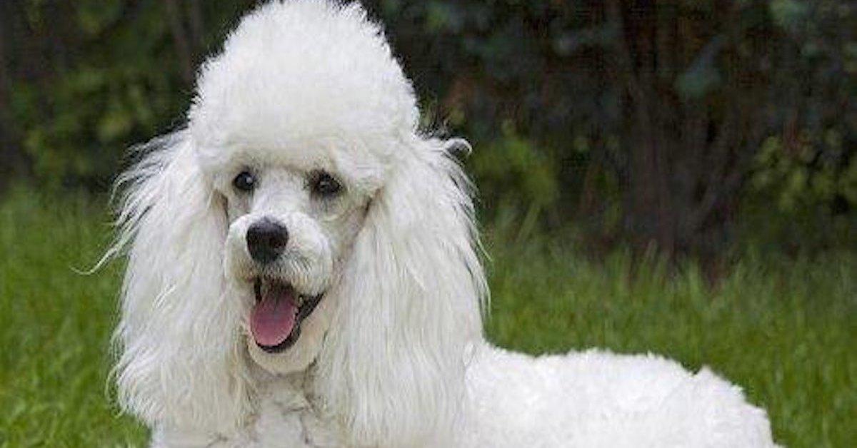 cucciolo riccio bianco