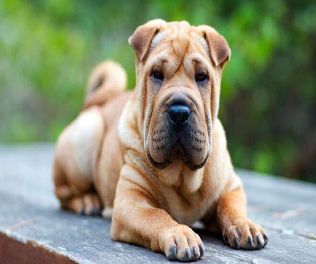 cane pieno di rughe