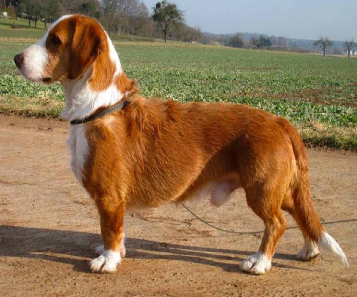 10 razze di cani che vanno d'accordo con il Beagle