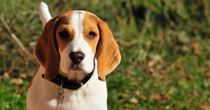 beagle rilassato al sole