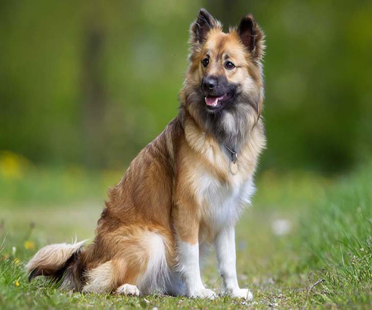 10 razze di cani che vanno d'accordo con il Border collie