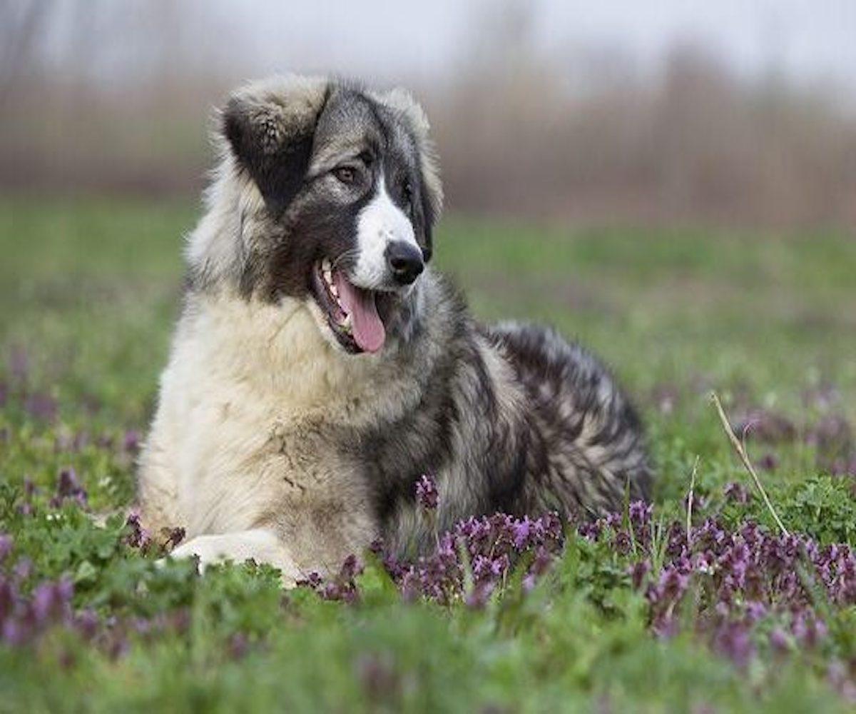 cane da pastore rumeno