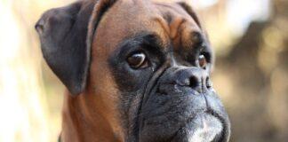 boxer sguardo dolce
