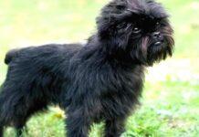 cagnolino nero