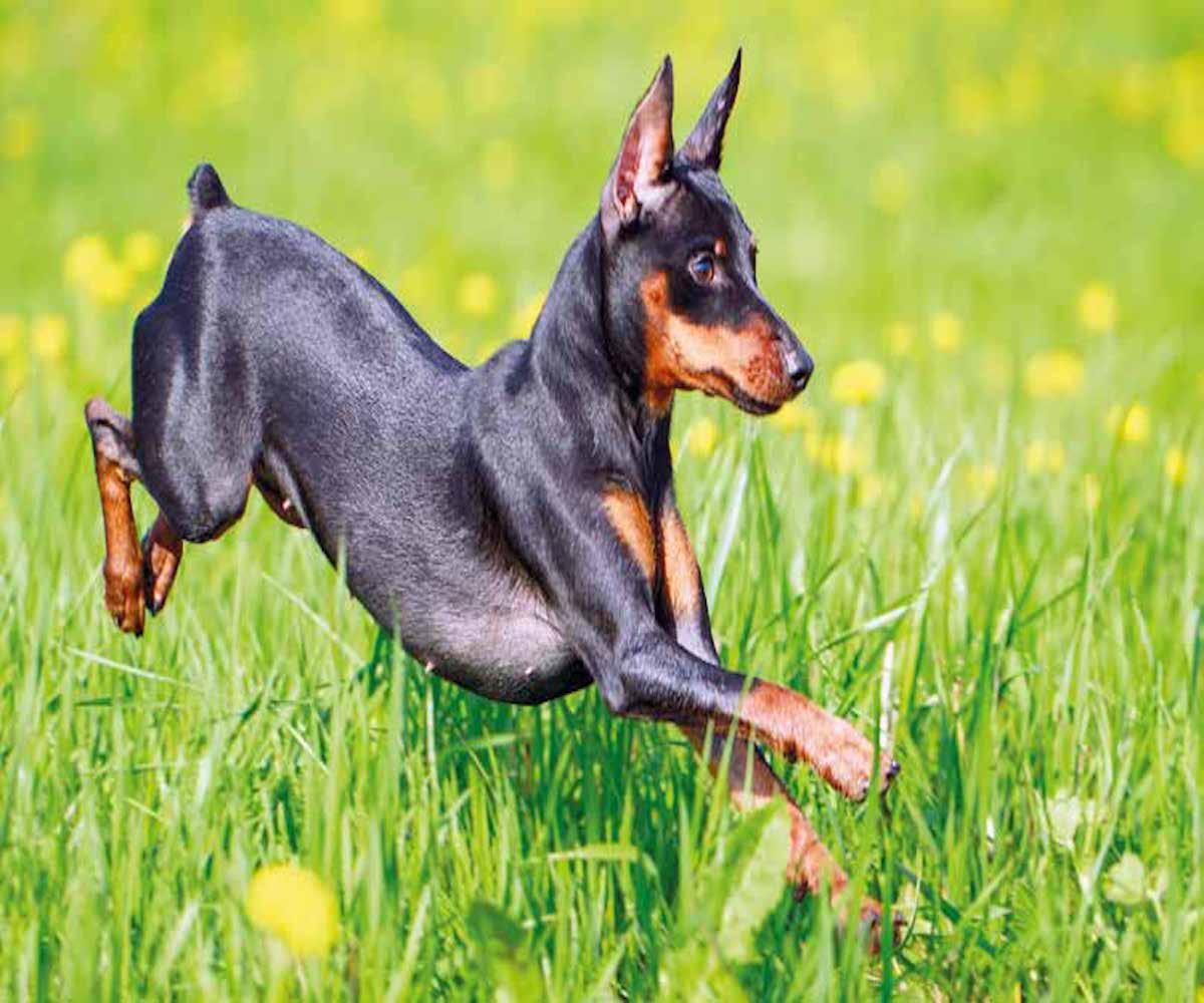 cane alla rincorsa