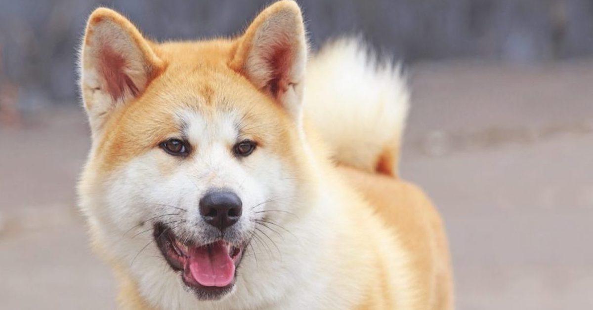 10 razze di cani che vanno d'accordo con l'Alaskan Husky