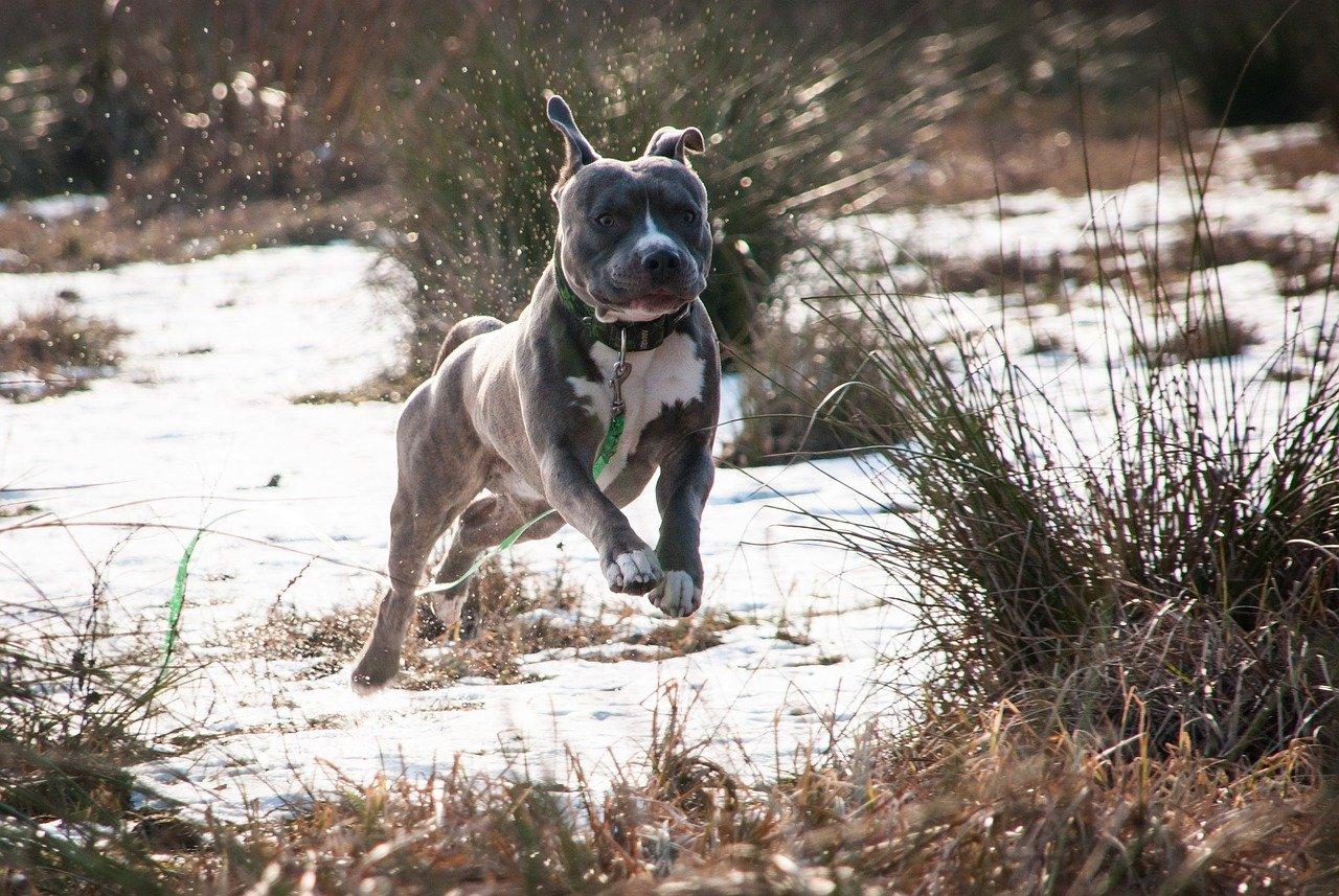 amstaff corre nel bosco