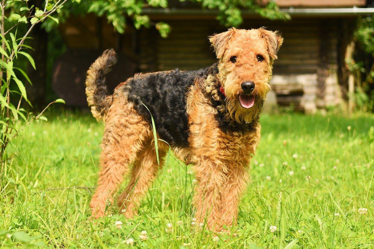 airedale terrier elegante