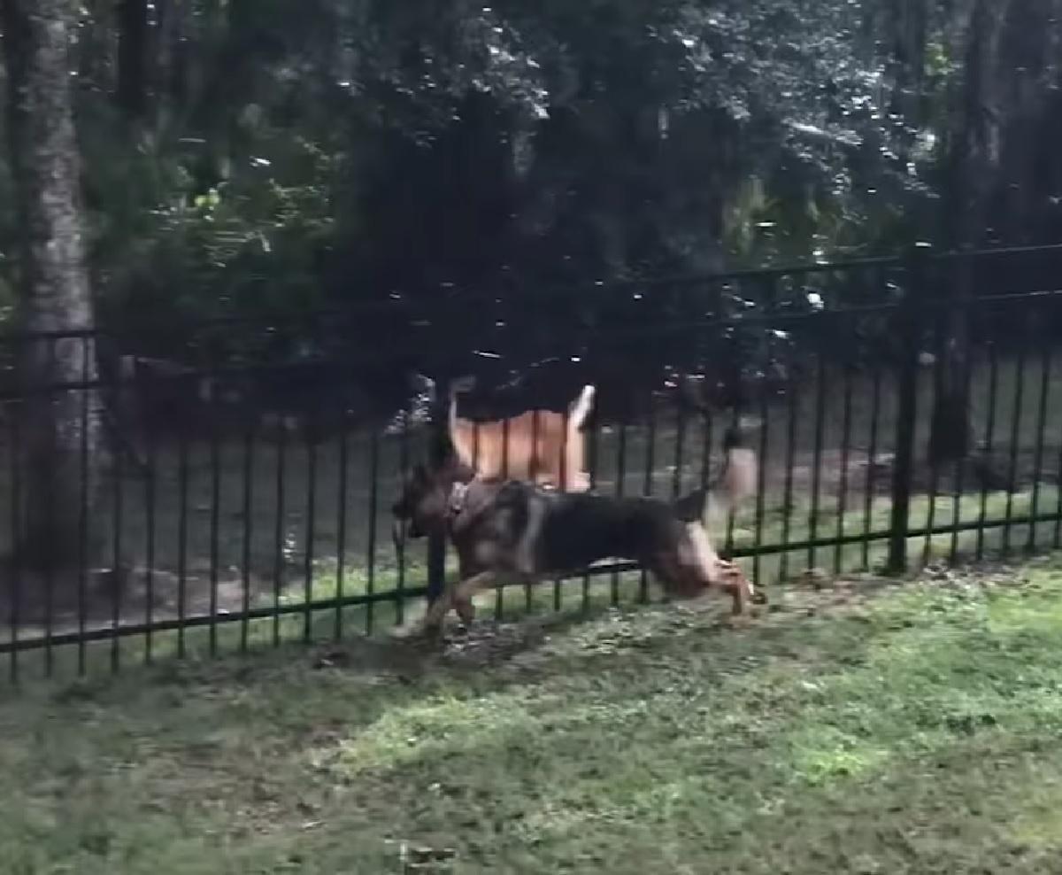 ike cucciolo pastore tedesco gioca con cervo