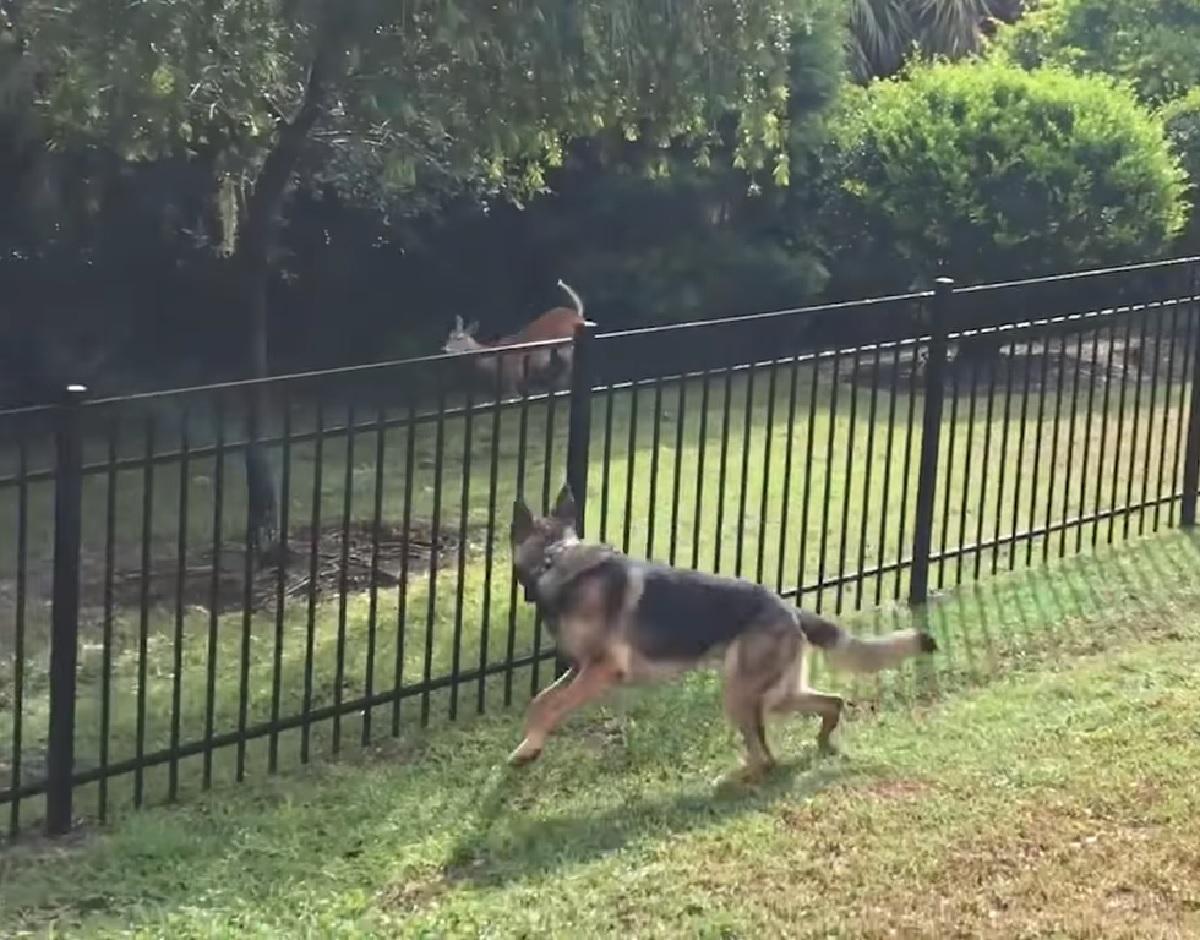 ike cucciolo cervo corrono in gara