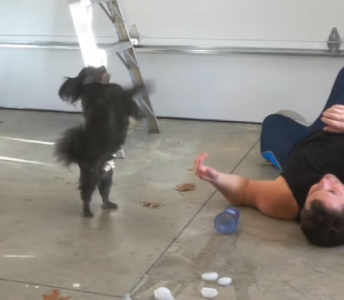 bonez cucciolo pomapoo balla mentre papà sviene