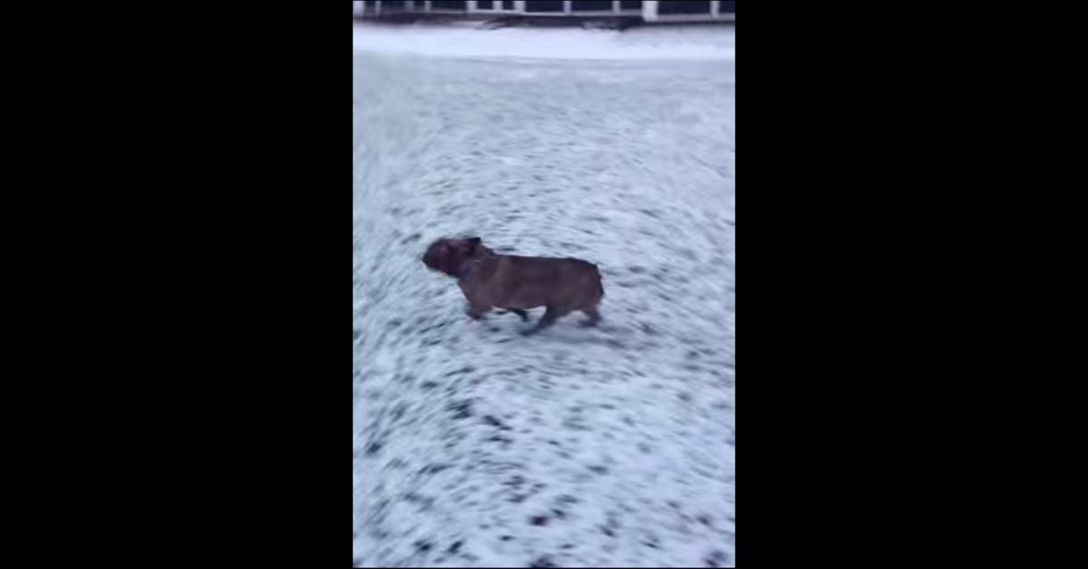 Bulldog felice nella neve