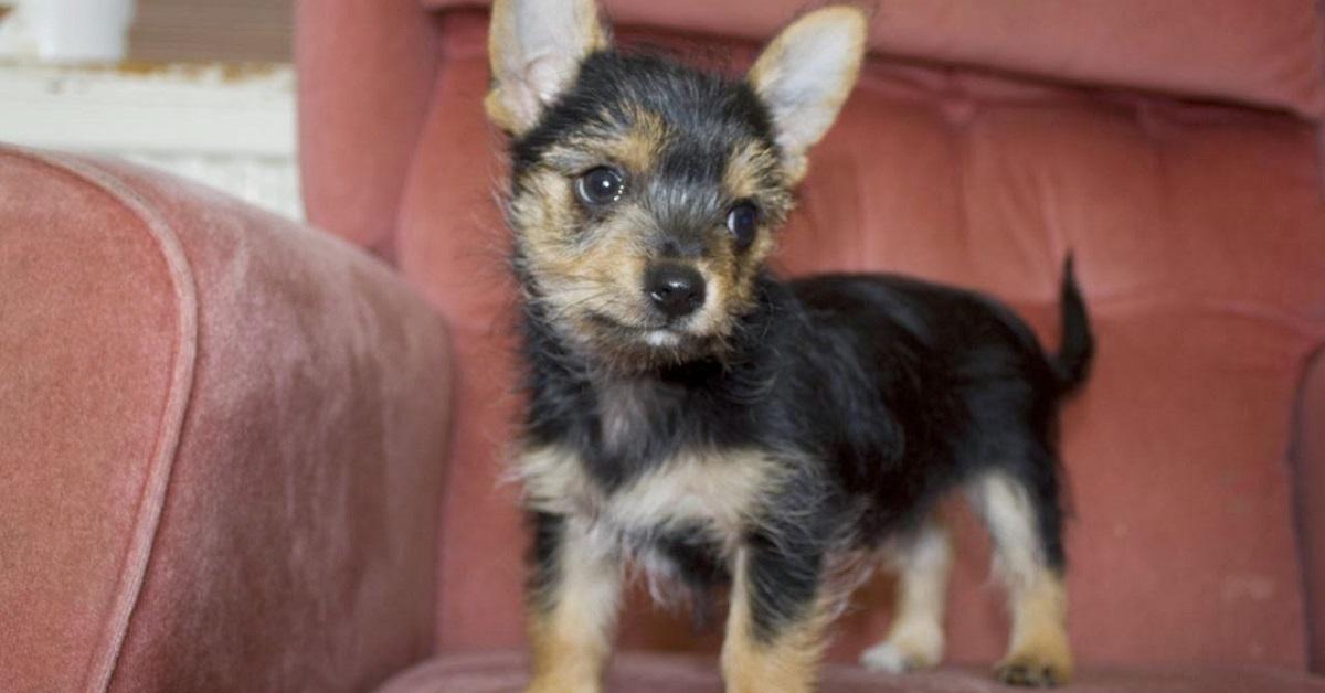 Cani mix Yorkshire: i 10 troppo carini per essere reali
