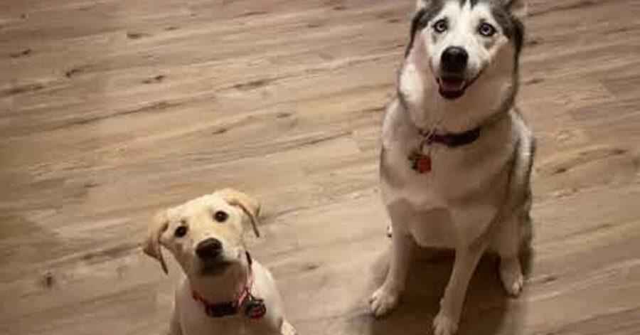 Cucciolo di Siberian Husky adora la sorellina Labrador Retriever