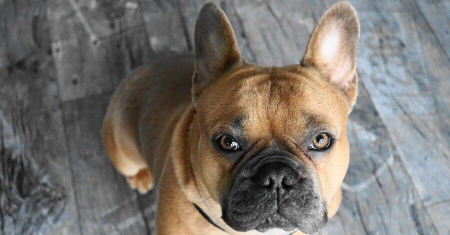 Cucciolo di bulldog francese che porta sempre in giro i suoi giocattoli