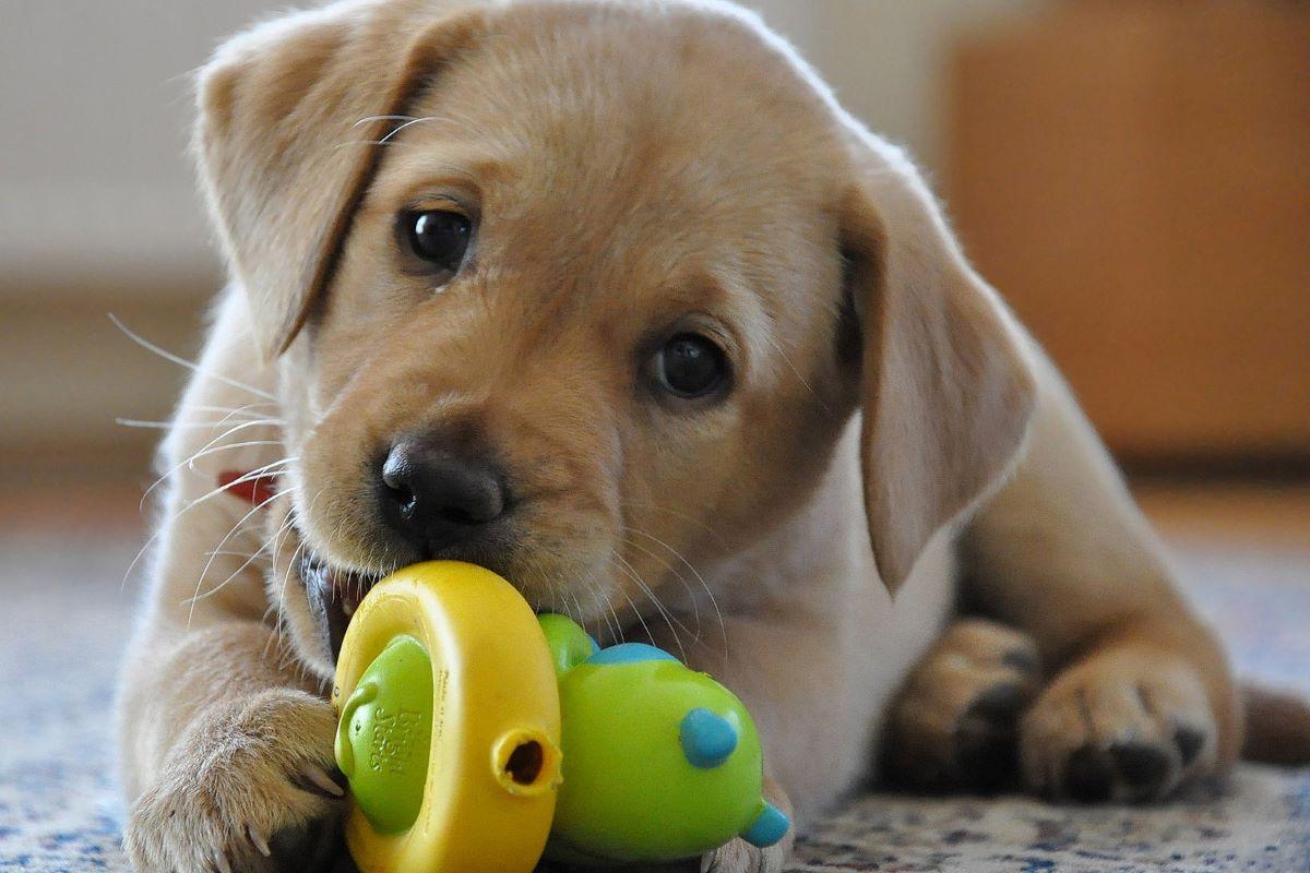 cucciolo di cane non sente i comandi