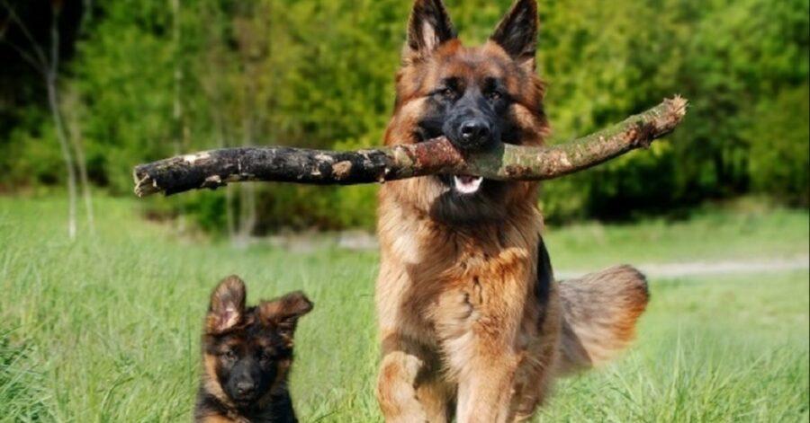 Cucciolo di pastore tedesco gioca con la sua ciotola vuota