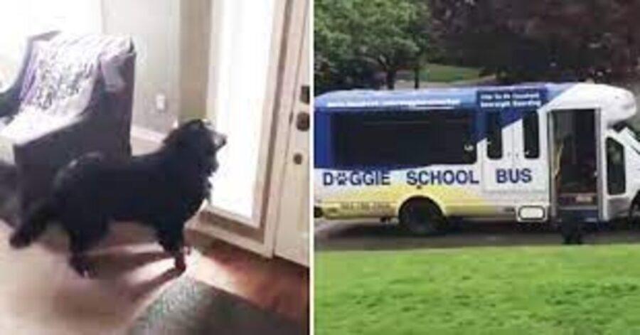 Bovaro del Bernese aspetta Doggie School Bus
