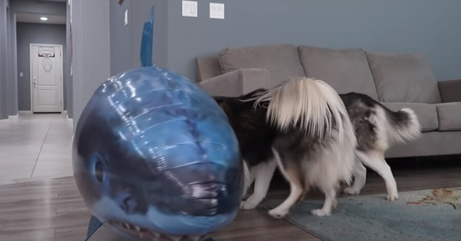Husky con un palloncino a forma di squalo
