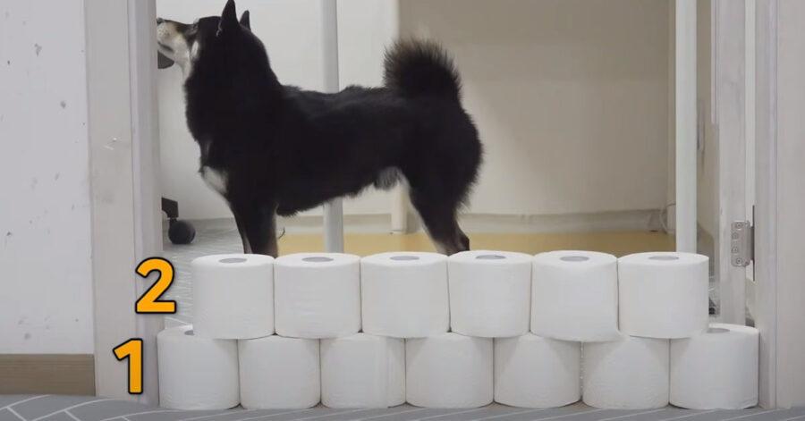 Gli Shiba Inu affrontano per la prima volta la challenge del muro di carta igienica