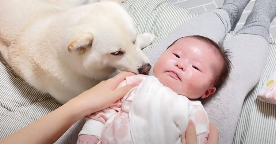 Shiba Inu con un bambino