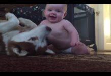 Husky gioca con bimbo