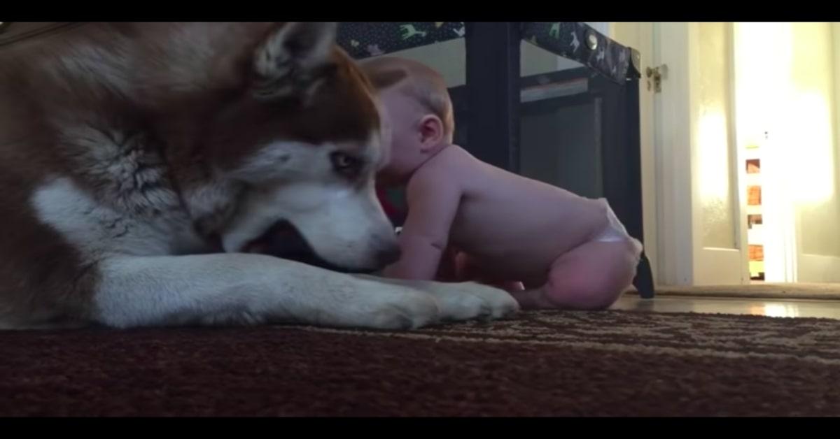 Husky e neonato amici