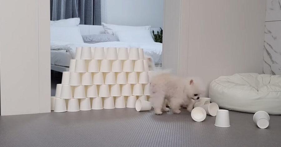 Cuccioli di Pomerania che gioca
