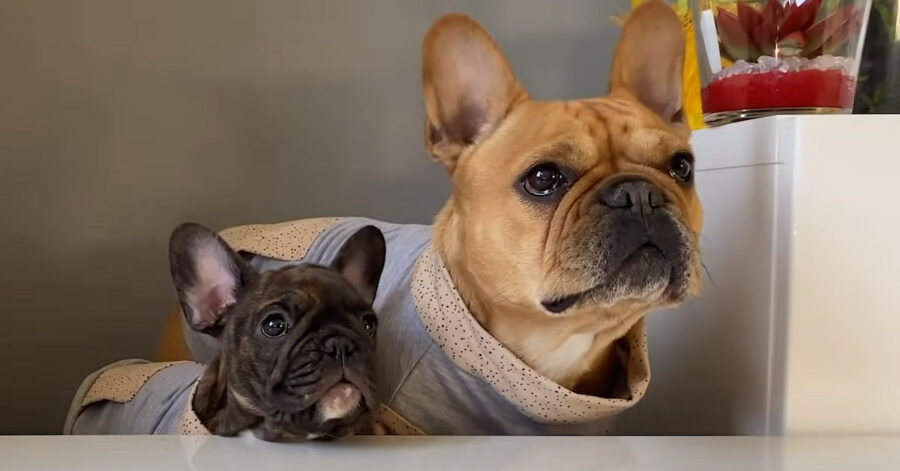 Bulldog Francese che osservano