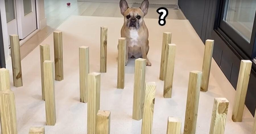 Bulldog affronta un percorso ad ostacoli